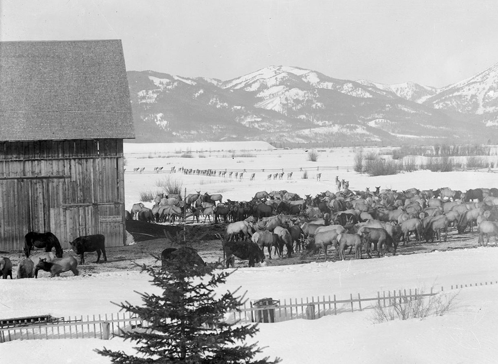 Before the  National Elk Refuge  was established in the early 1900's, many elk wintered with the cows and horses on the ranch. The barn in this photo was the first building in Jackson Hole built with milled lumber and is still used every day.