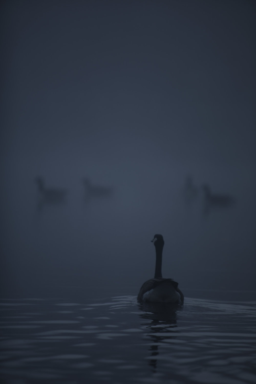 Dark ducks.jpg
