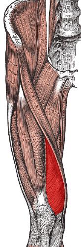 Vastus Medialis Muscle