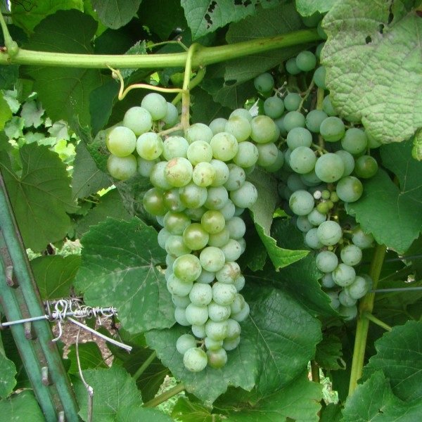 double-a-vineyards-cayugawhite2-grapevines.jpg