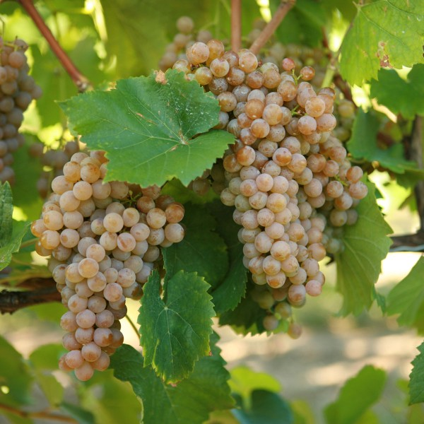 double-a-vineyards-traminette2-grapevines.jpg