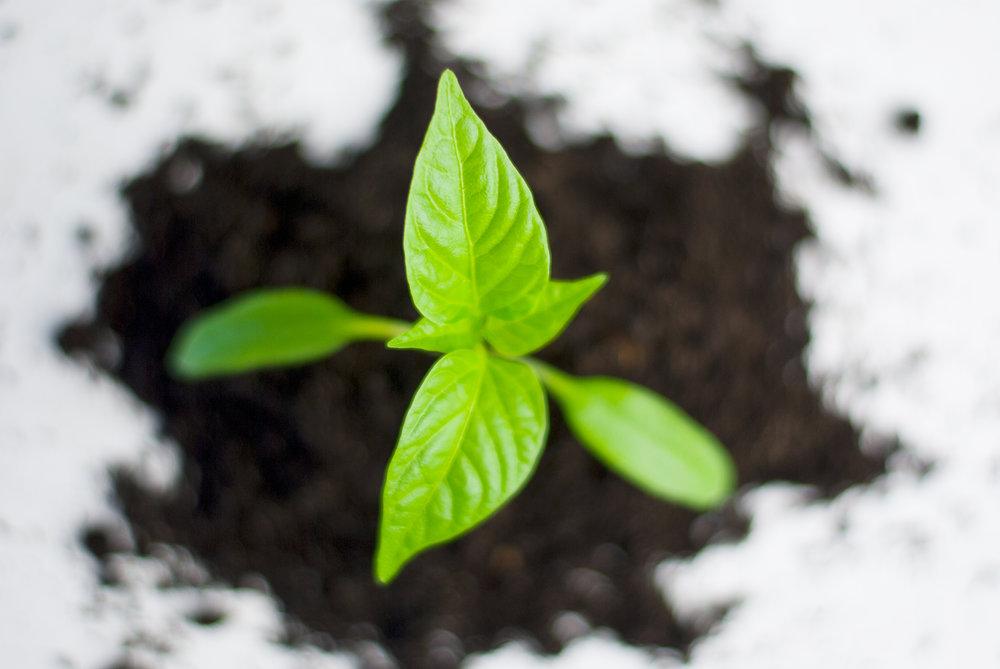 pepperplant