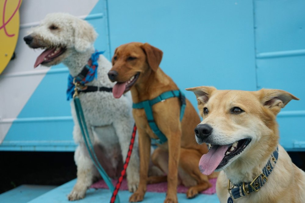Bones & Co. Pups (left to right) Finn, Lyra, and Rigsby (1).JPG