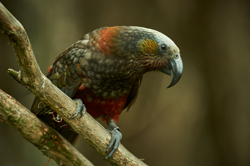 South Island Kaka by Craig McKenzie