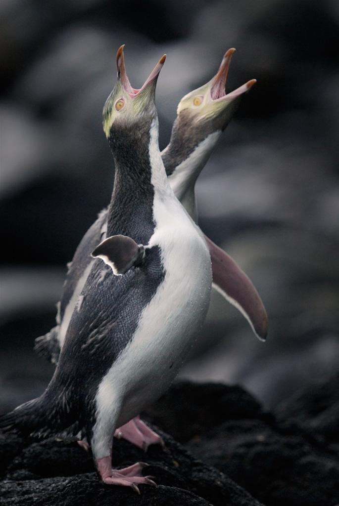 Hoiho (yellow eyed penguins) by Craig McKenzie