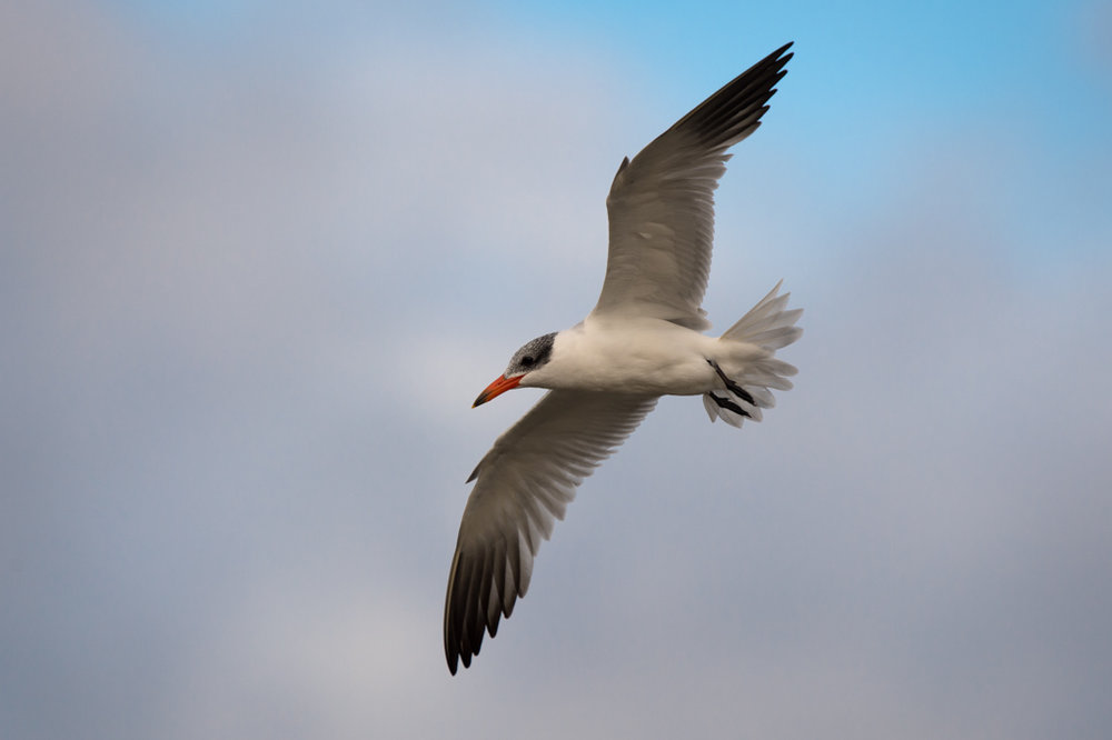 Caspian Tern by Craig McKenzie