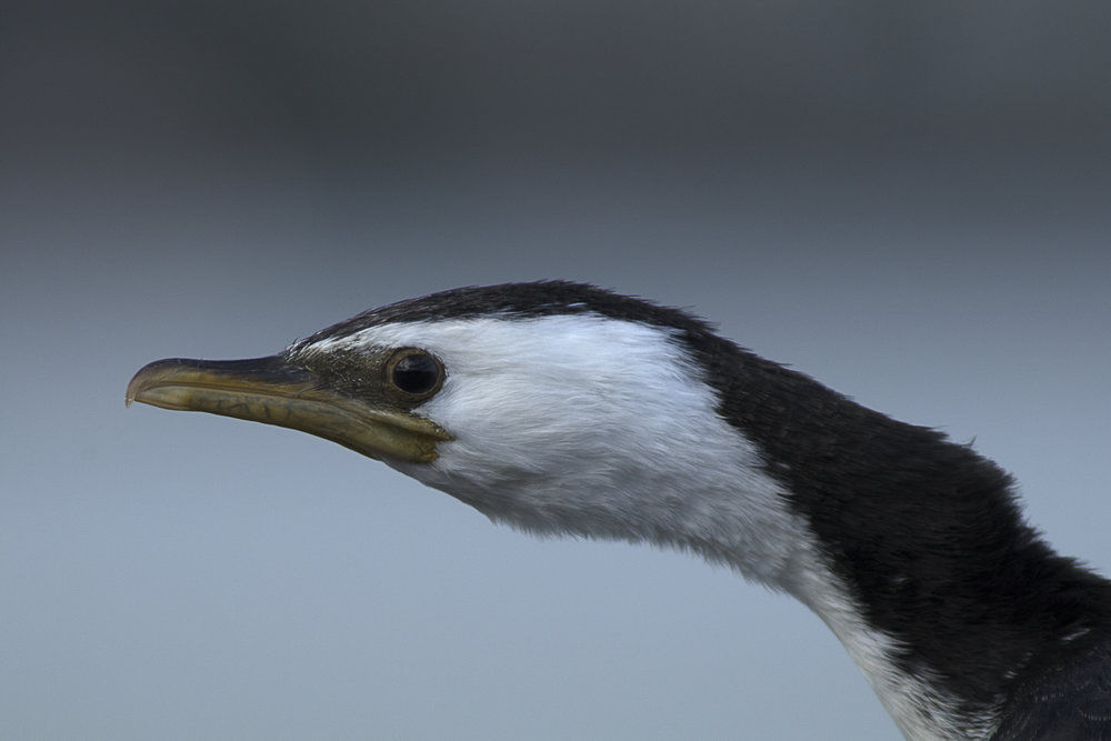 Shag by Andy Thompson