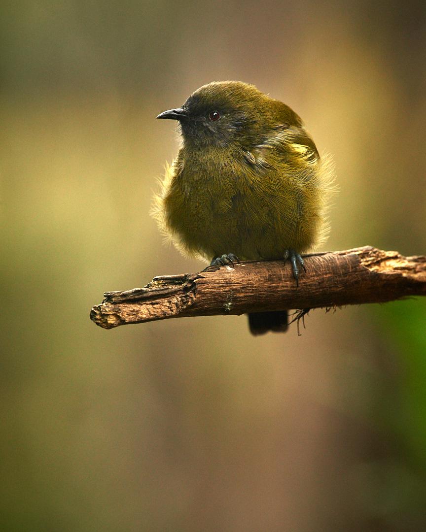 Bellbird by Craig McKenzie