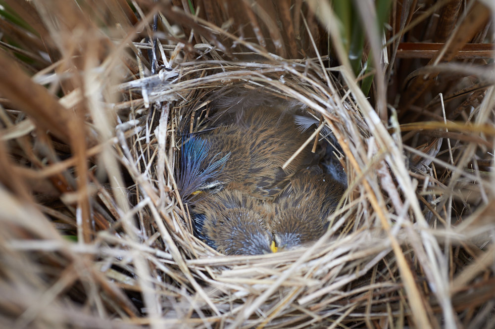 Three fernbird chicks in a nest lined with Takahe feathers by Craig McKenzie