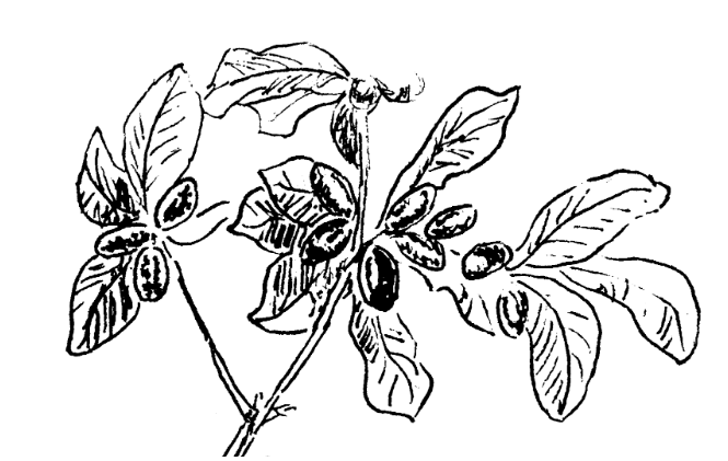 Sketch of the miracle fruit plant,  Synsepalum dulcificum .¹ The bright red fruit resemble olives in size.