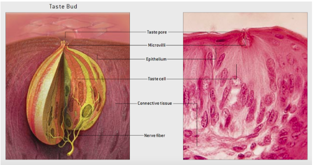 Taste buds are onion-like clusters of taste cells that lie on the surface of the tongue. Collections of taste buds form papillae, the bumps that give the tongue its characteristic velvety appearance. Left, schematized taste bud structure. Right, isolated cross section of human taste bud4.