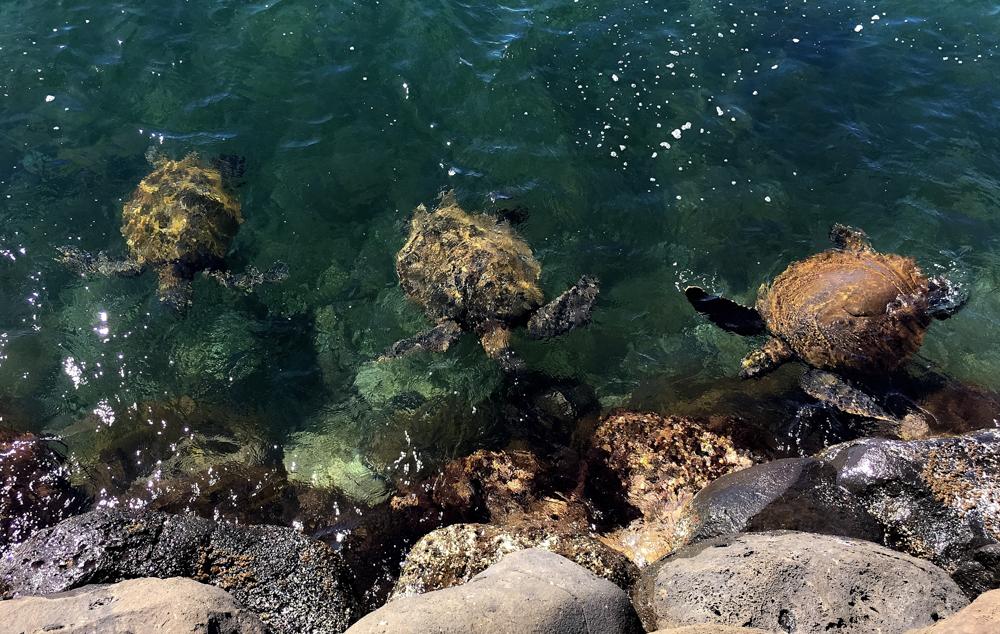 Sea Turtles along the rocks of Mā'alaea Harbor