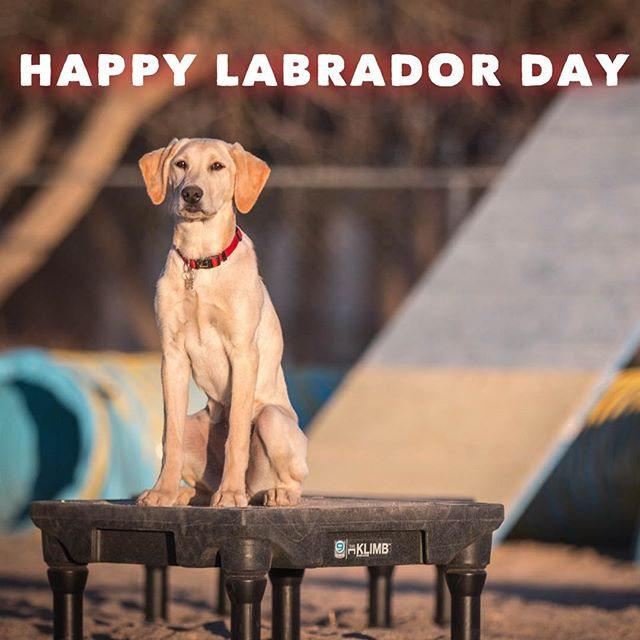 Happy Labrador Day 🐶 🇺🇸 In my opinion, the Labrador is one of the most American breeds.  What breed do you think represents USA?  Tag your favorite Labs on instagram! - - - #labradorretriever #lab #labsofinstagram #labrador #labradorday #yellowlab #yellowlabpuppy #labpuppy #labordayweekend