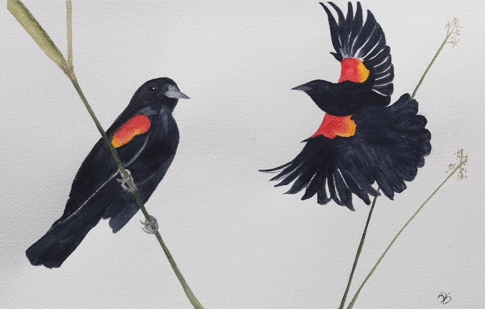 Snyder-Red-winged Blackbird.jpg