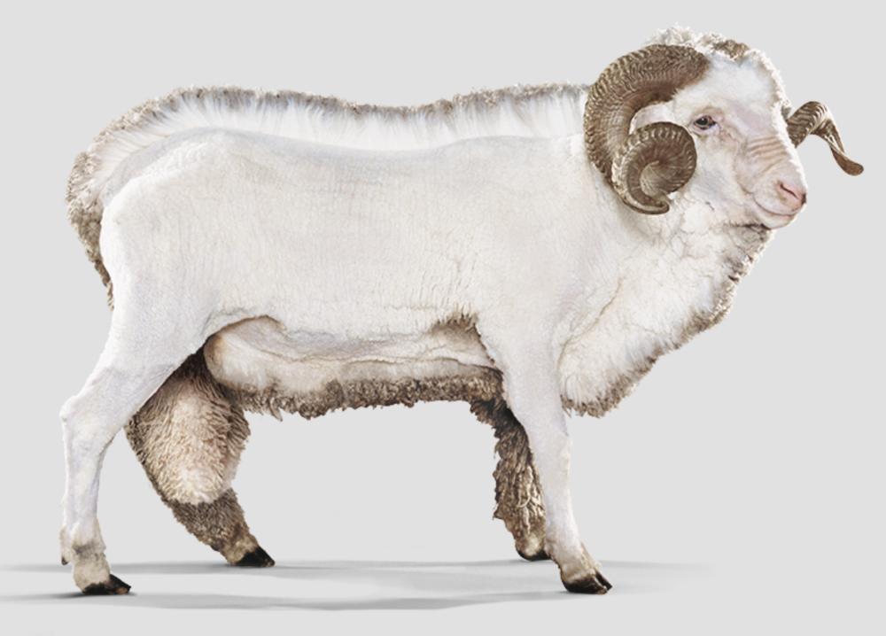 📸 Icebreaker.com - Merino sheep, Austrailia