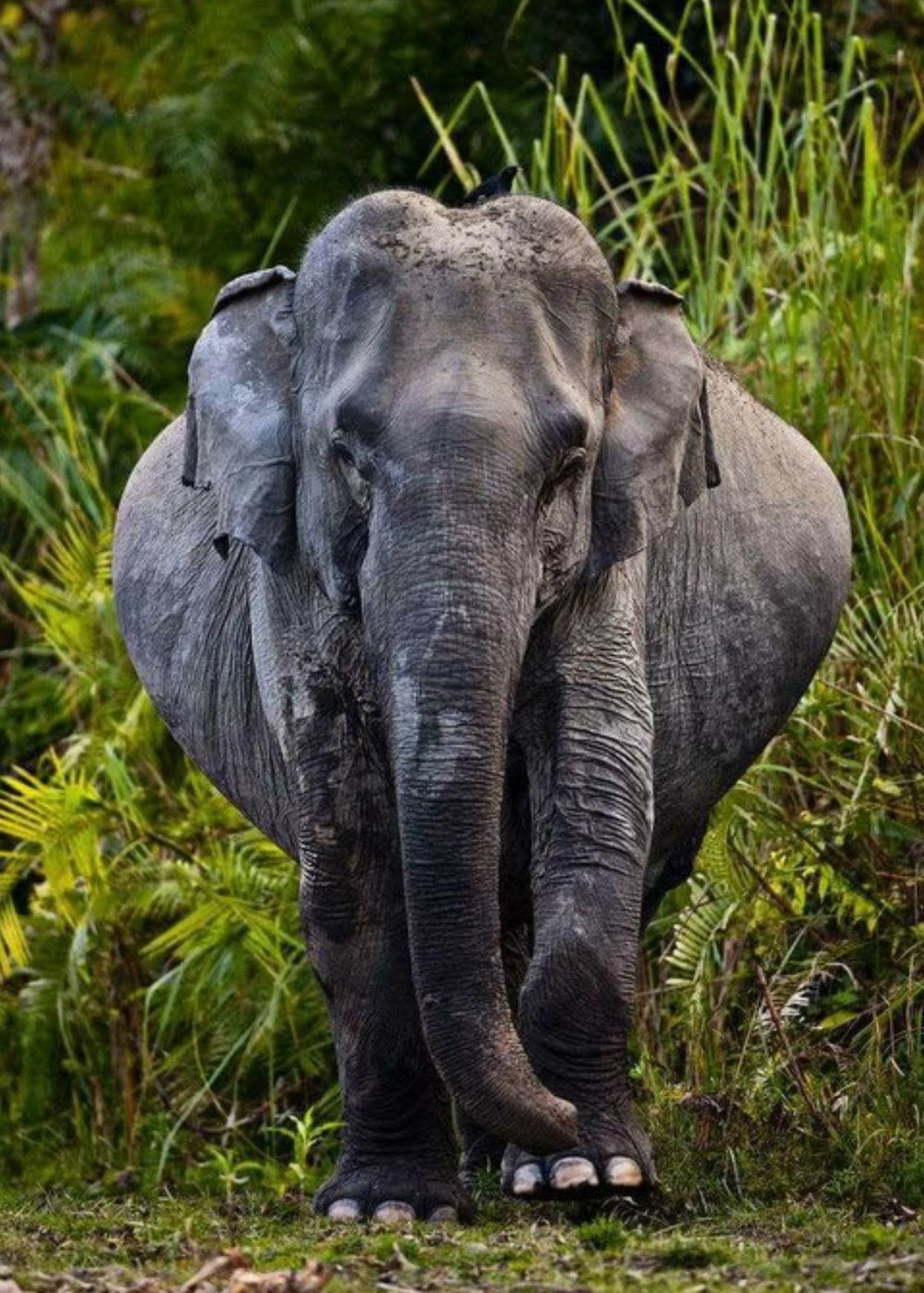 pregnant elephant.jpg