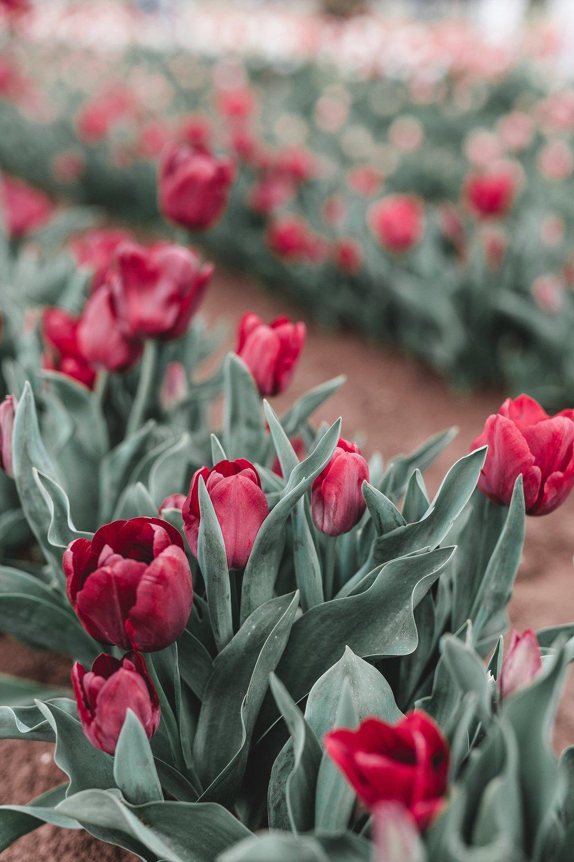 Tulip Festival Dandenong-18.jpg
