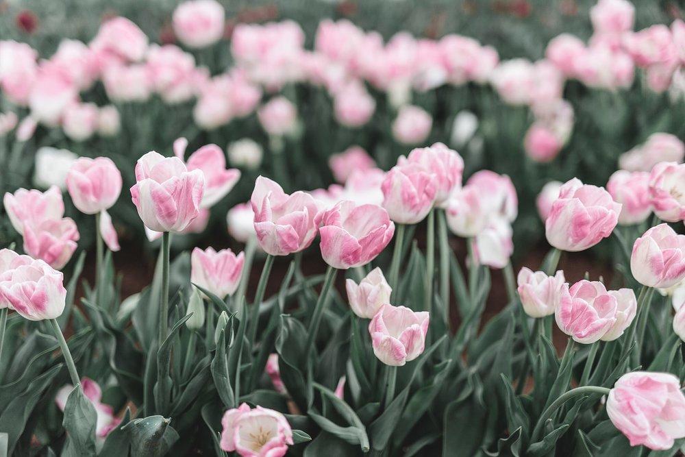 Tulip Festival Dandenong-27.jpg