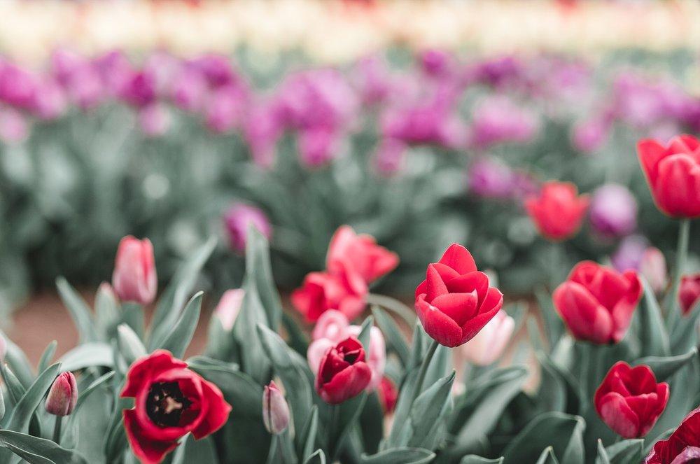 Tulip Festival Dandenong-33.jpg