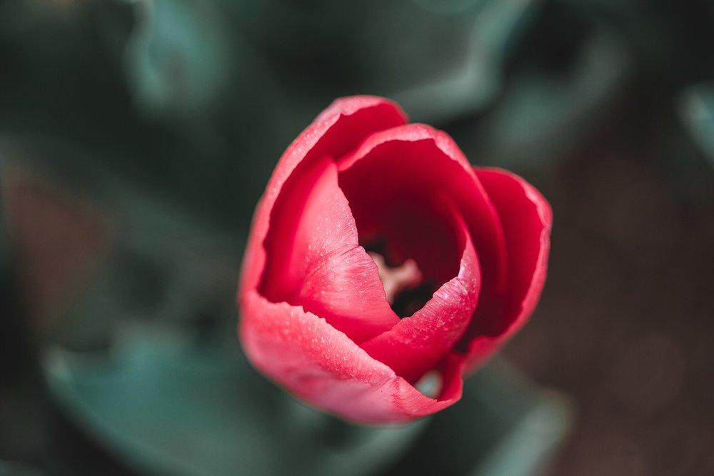 Tulip Festival Dandenong-45.jpg
