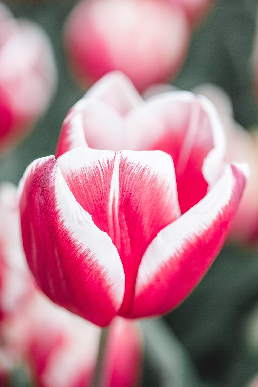 Tulip Festival Dandenong-53.jpg