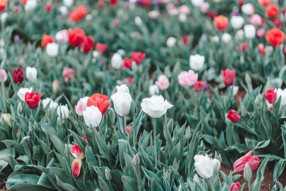 Tulip Festival Dandenong-62.jpg