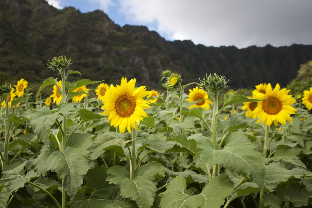 Sunflowers  - Our sunflower patch is open throughout the year. See our