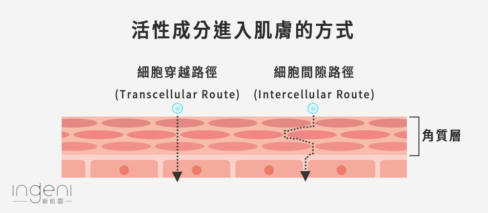 保養品活性成分經皮吸收的路徑.jpg