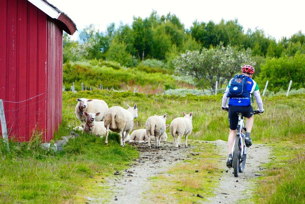 På sykkelferie over Stølsvidda kan man møte på både sau og ku.