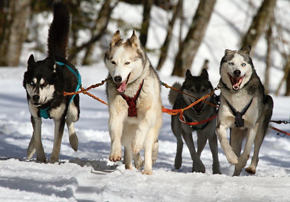 huskies-273409.jpg