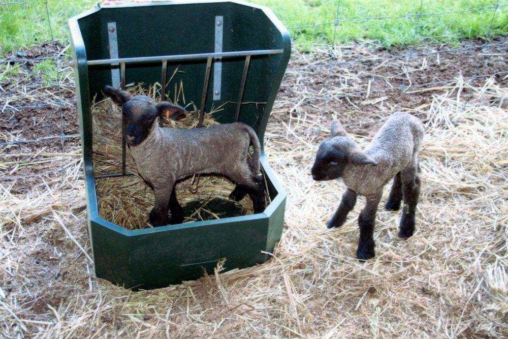 Dorset Down Lambs
