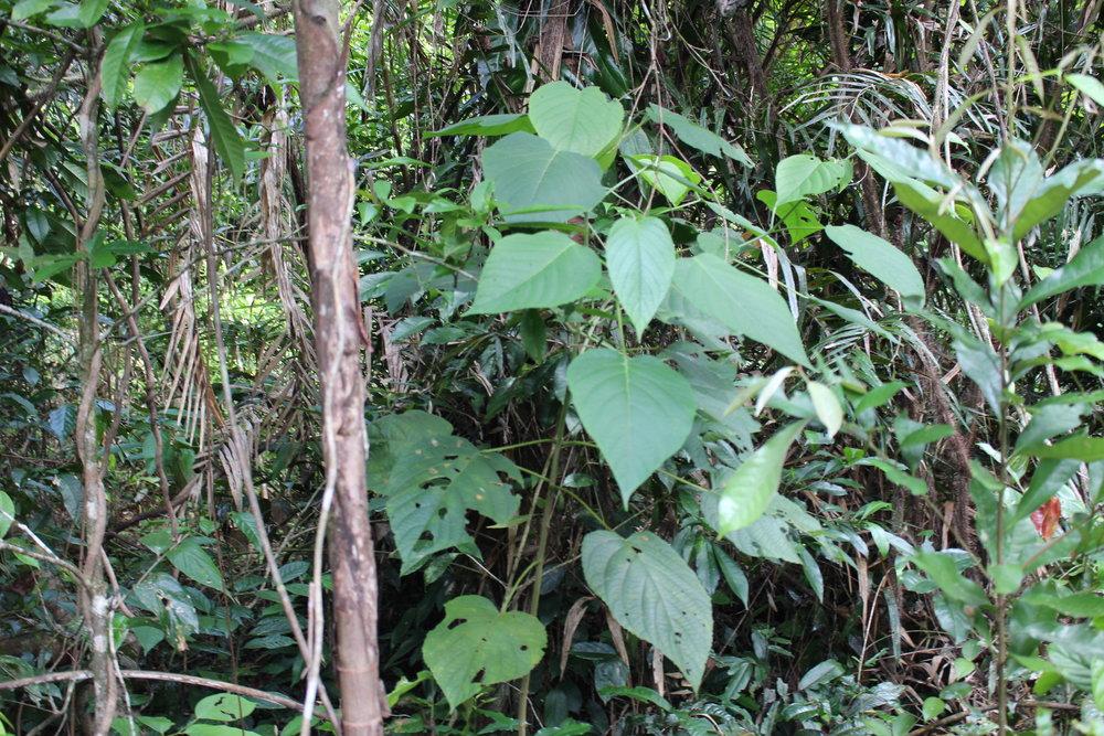 hoja con forma de corazon venenosa en el bosque tropical