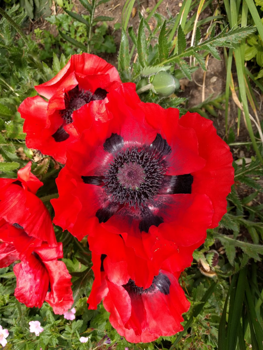 poppies at the hospice