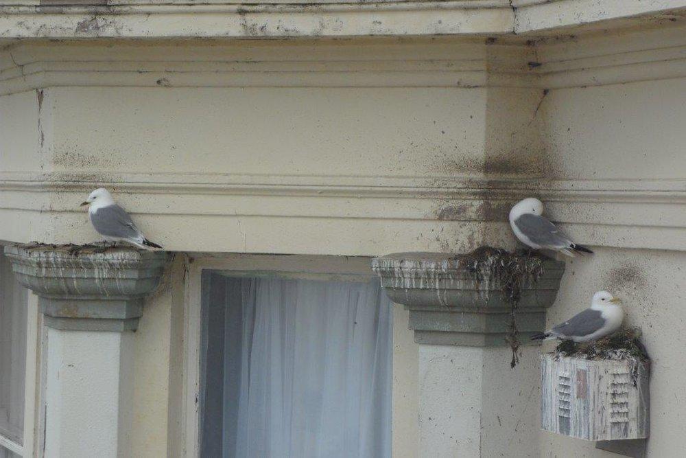 Kittiwakes nesting 2015