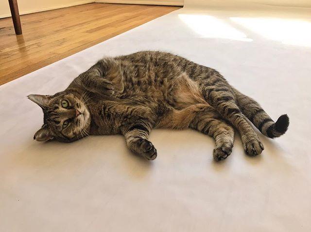 MARGO!!! . . . #denver #colorado #denvercolorado #denvercats #catsofinstagram #lazycat #fatcat #americanshorthair #tabbycat