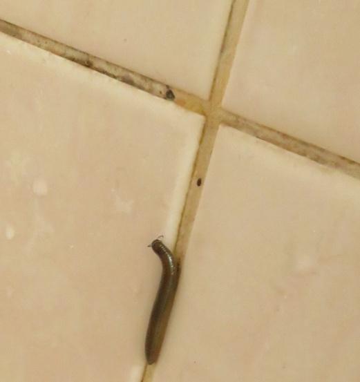 weird little worm in shower