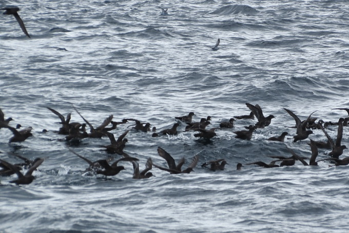 rafts of sooty shearwaters