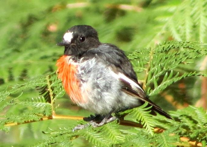 chinaman's bay scarlet robin