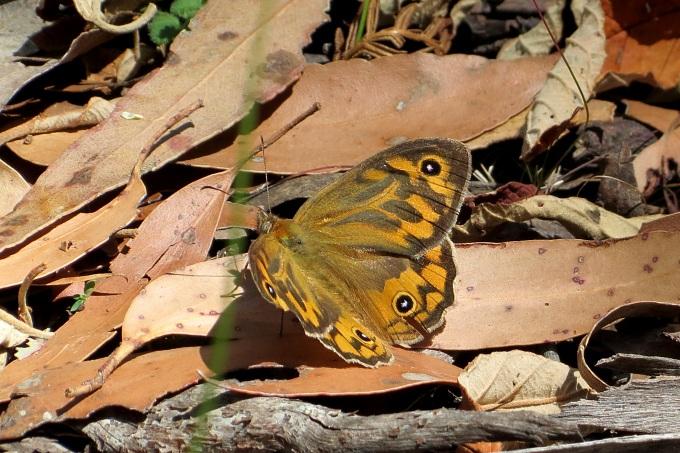 maria island_butterfly geitoneura klugi