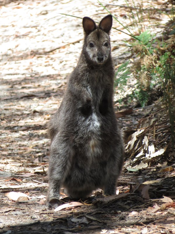 maria_bennetts wallaby2