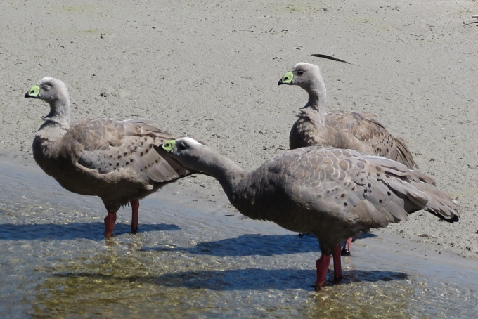 maria_cape barren geese