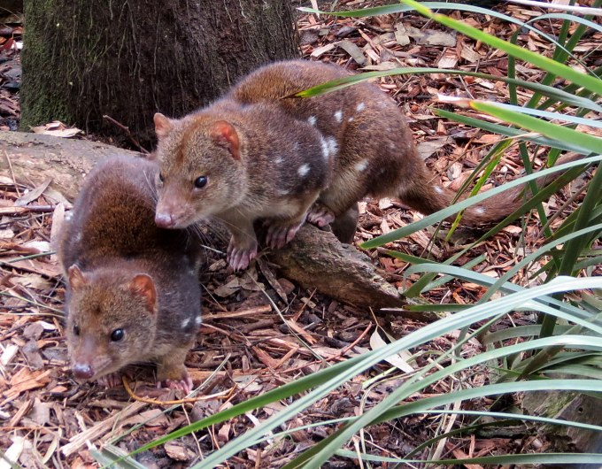 bonorong spotted quolls