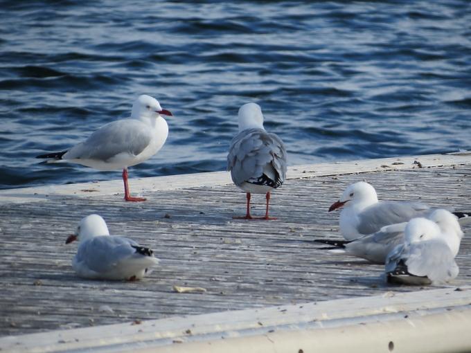 adelaide gulls rule