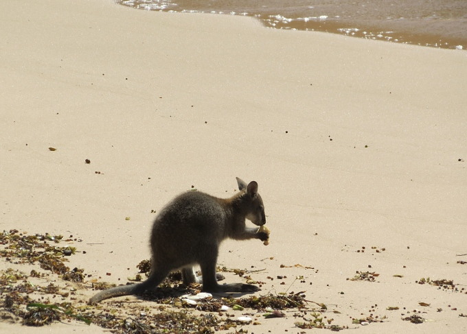deal island beachcombing wallaby