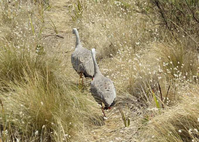 erith island cape barren geese