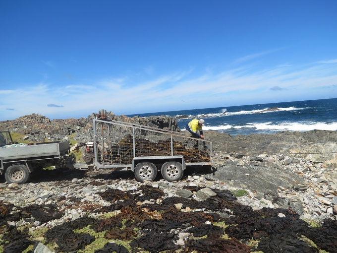 king island harvesting kelp