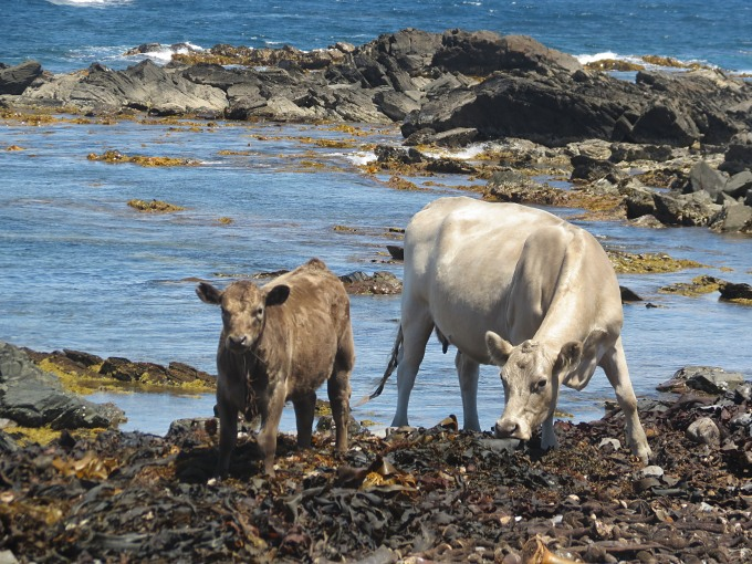 king island stokes point cows