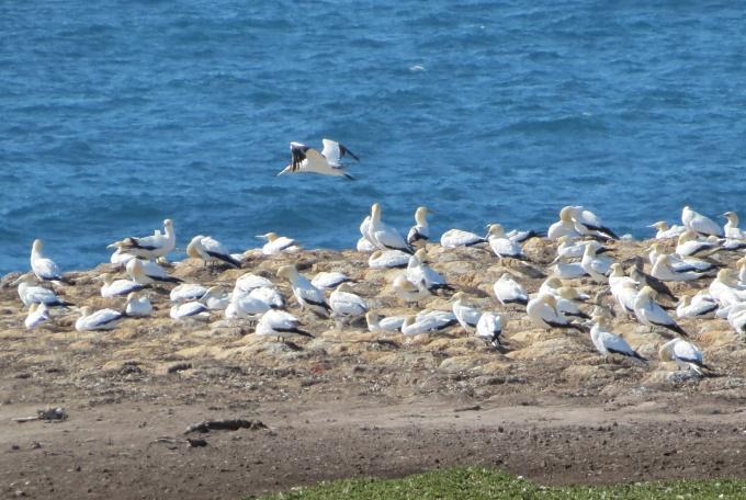 portland discovery coast gannets closeup