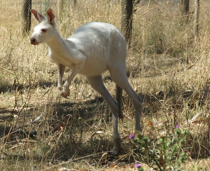 portland victoria white kangaroo
