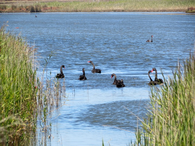 portland victoria fawthrop lagoon black swans